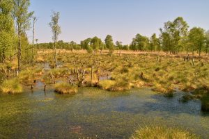 Schwingrasen mit Torfmoosen im Oppenweher Moor von Richard Linsel